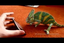 iPhone a vystraseny chameleon